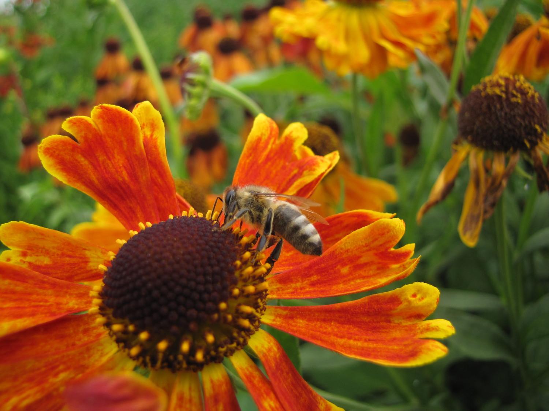 Planten Voor Bijen.Blije Bijen Zo Help Je Ze Een Handje Mooi Wat Planten Doen