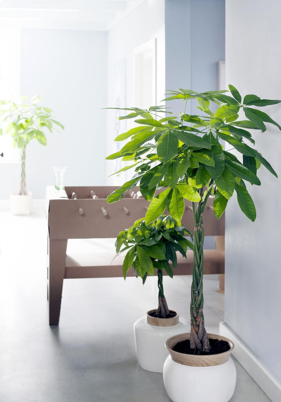 pachira mooi wat planten doen. Black Bedroom Furniture Sets. Home Design Ideas