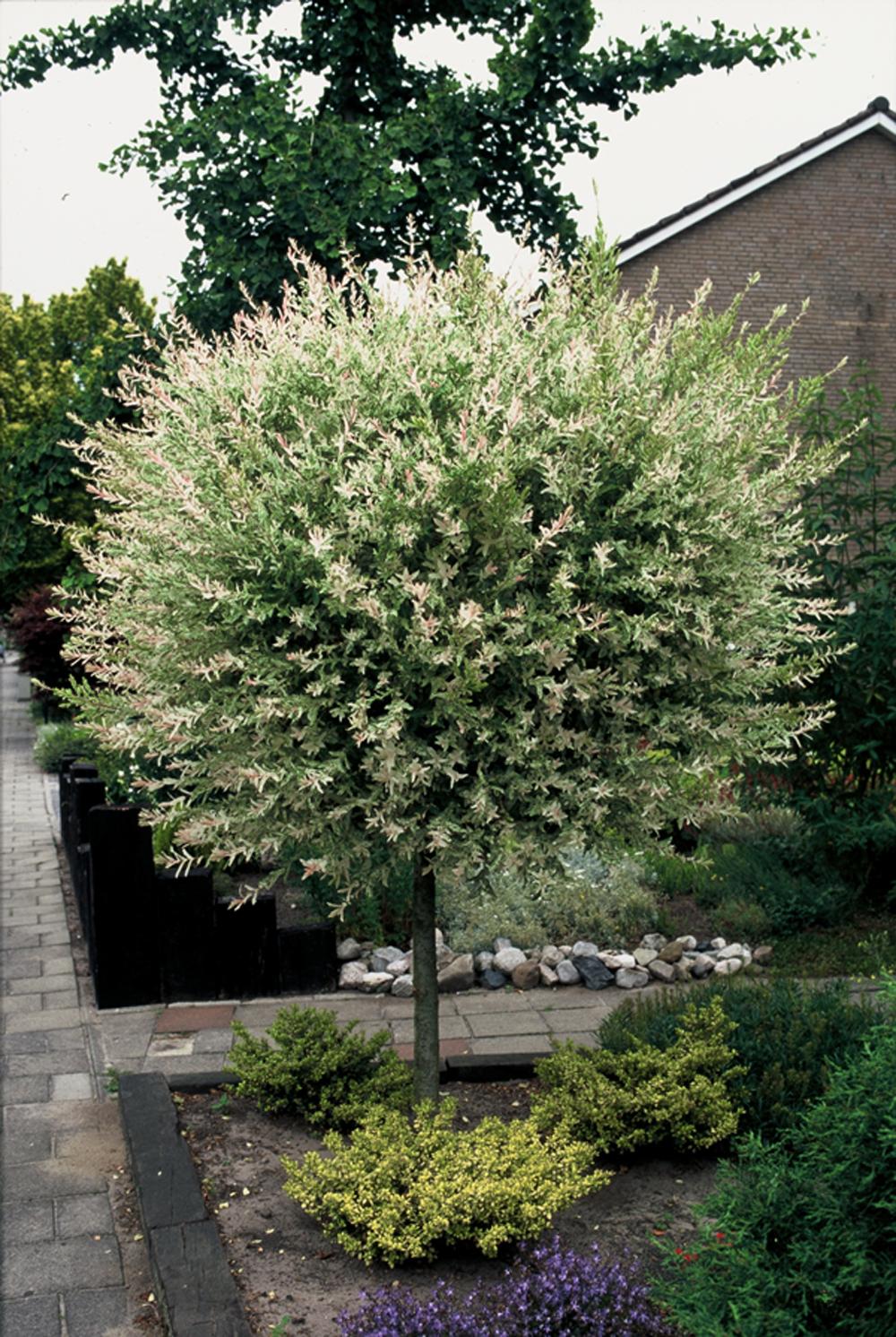 De tuinplant van de maand januari de wilg mooi wat planten doen - Salix hakuro nishiki taille ...