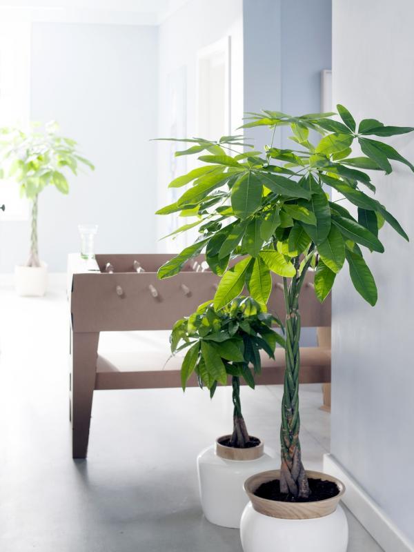 Pachira Mooi Wat Planten Doen