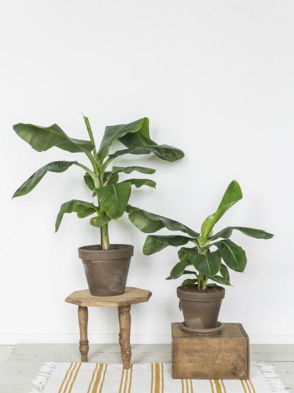 Bananenplant - Musa - Mooiwatplantendoen.nl
