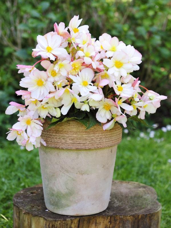 Begonia Mooiwatplantendoen.nl