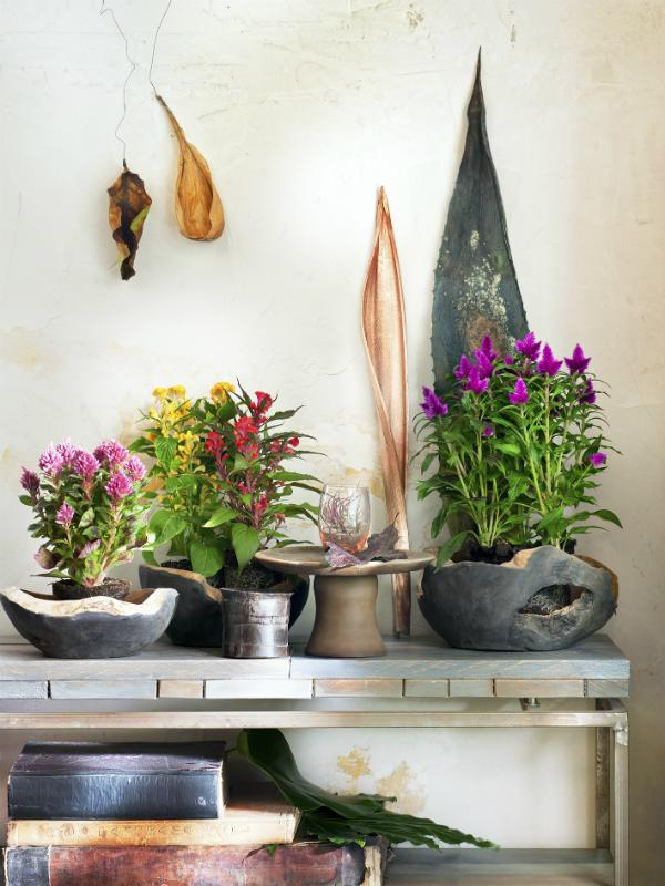 Celosia Mooiwatplantendoen.nl