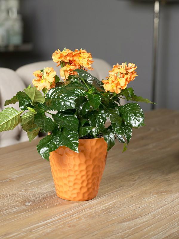 Crossandra Mooiwatplantendoen.nl