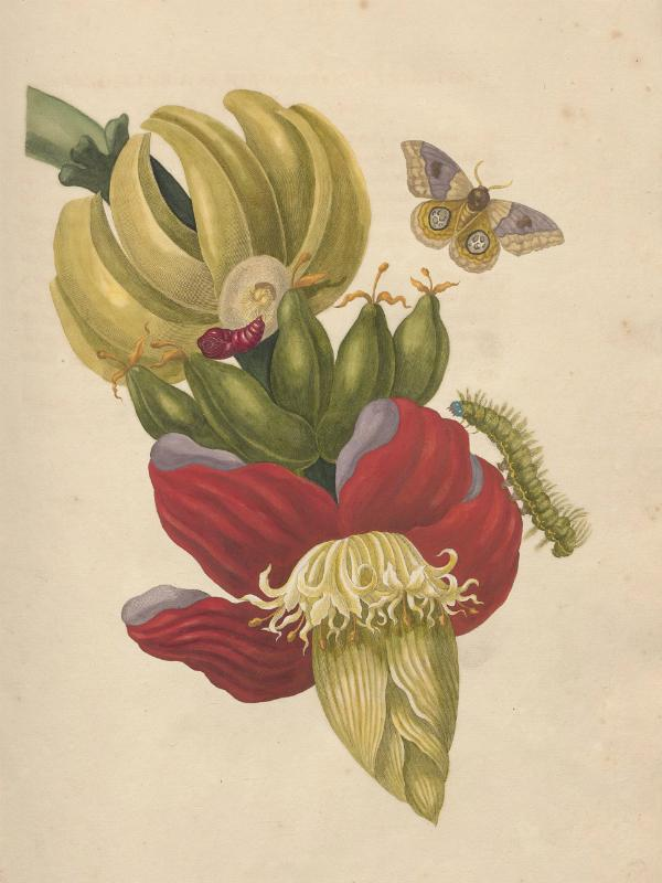 Maria Sibylla Merian Cromhouthuis Mooiwatplantendoen