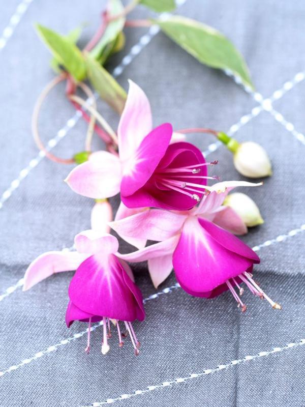 Fuchsia Mooiwatplantendoen.nl
