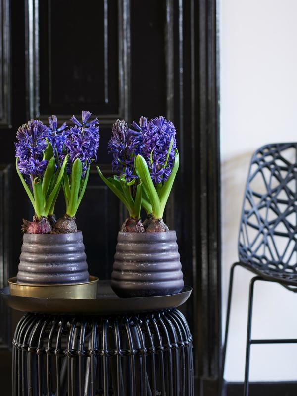 Hyacint Mooiwatplantendoen.nl