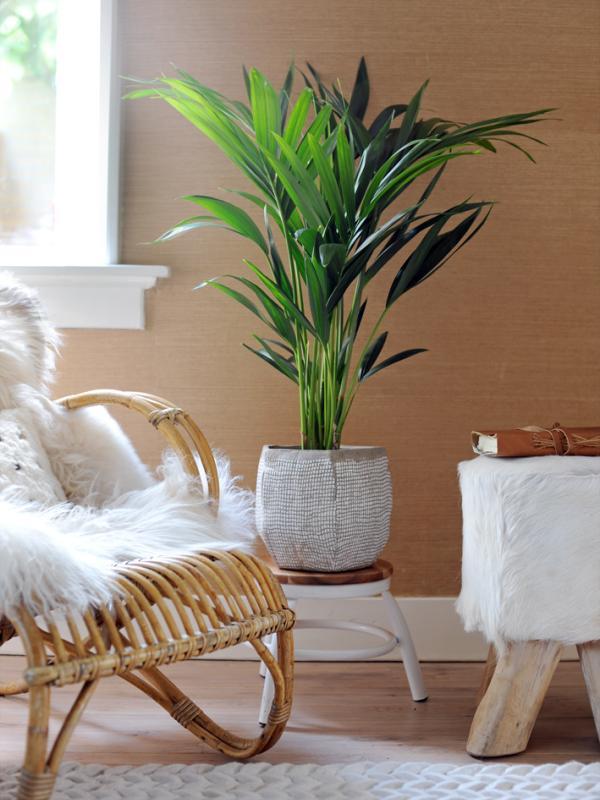 Kentia Palm Mooiwatplantendoen.nl