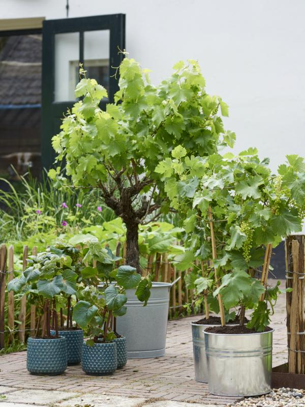 Druif Mooiwatplantendoen.nl