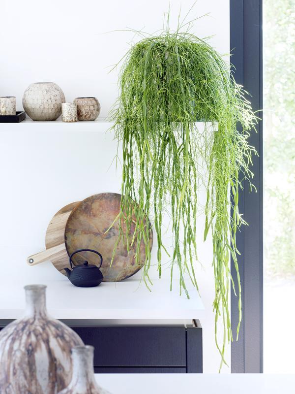 Rhipsalis Mooiwatplantendoen.nl