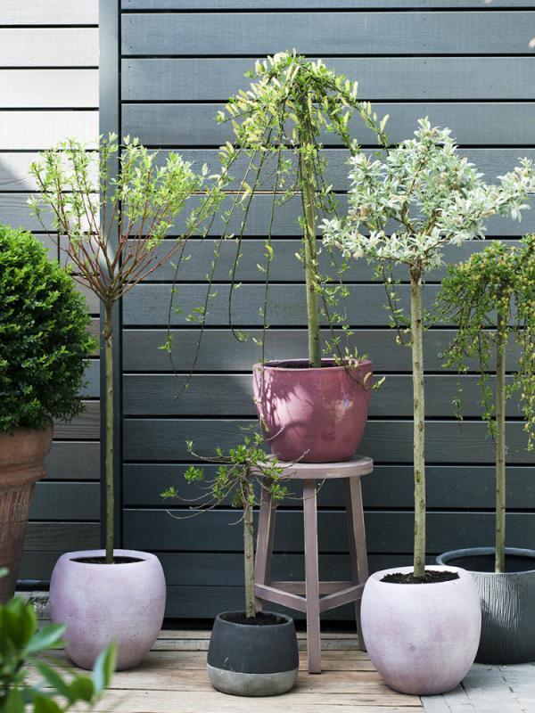 Wilg Salix Mooiwatplantendoen.nl