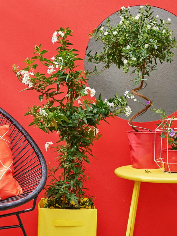 Solanum - Mooiwatplantendoen.nl